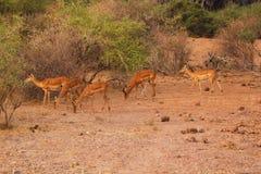 瞪羚牧群-徒步旅行队肯尼亚 免版税库存照片