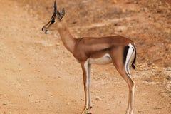 瞪羚男性-徒步旅行队肯尼亚 库存照片