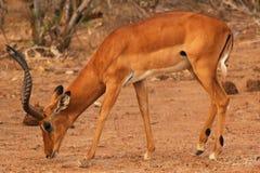 瞪羚男性-徒步旅行队肯尼亚 免版税库存照片