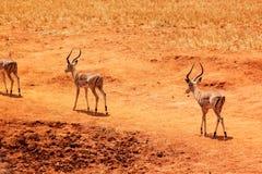 瞪羚男性-徒步旅行队肯尼亚 免版税库存图片