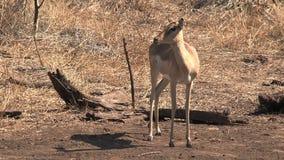瞪羚站立机敏在大草原 股票录像