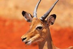 瞪羚面孔-徒步旅行队肯尼亚 库存图片