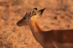 瞪羚面孔-徒步旅行队肯尼亚 免版税库存照片