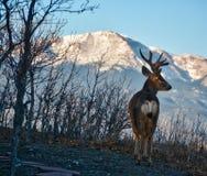 矛与鹿角的高峰山和大型装配架鹿 免版税库存图片