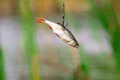 矛渔的活诱饵 库存图片