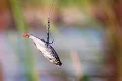 矛渔的活诱饵 库存照片