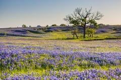矢车菊或羽扇豆野花在恩尼斯得克萨斯归档了 库存照片