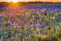 矢车菊日出在得克萨斯小山国家 库存图片