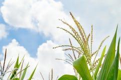 矢车菊自然背景与蓝天的 库存图片