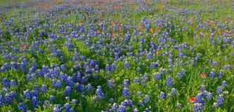 矢车菊花在恩尼斯, TX,美国 图库摄影
