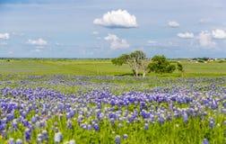 矢车菊领域在恩尼斯,得克萨斯 免版税库存照片