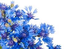 矢车菊 狂放的蓝色花花束  库存图片