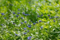 矢车菊cyanus 与蓝色petals&Purple的领域花开花矢车菊 库存图片