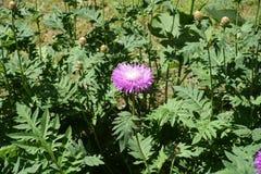 矢车菊dealbata一朵浅粉红色的花  库存图片