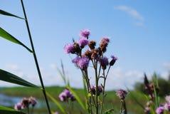 矢车菊jacea褐色黑矢车菊属或brownray黑矢车菊属在领域增长 免版税库存图片