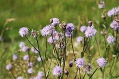 矢车菊jacea褐色黑矢车菊属或brownray黑矢车菊属在领域增长 免版税库存照片