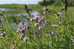 矢车菊jacea褐色黑矢车菊属或brownray黑矢车菊属在领域增长 库存图片