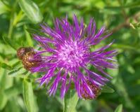矢车菊jacea褐色黑矢车菊属或brownray黑矢车菊属特写镜头 开花在春天的花 图库摄影