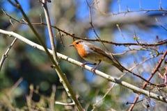 知更鸟在一根枝杈在春天栖息 库存图片