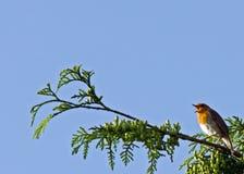 知更鸟唱歌 免版税库存照片