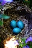 知更鸟鸡蛋 库存图片