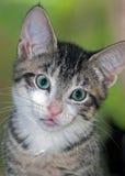 短发布朗平纹小猫特写镜头与白奇恩角的 免版税库存照片