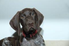 短发德国指针的小狗 库存图片