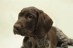 短发德国指针的小狗 免版税库存照片