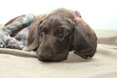 短发德国指针的小狗 免版税图库摄影