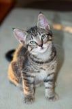短发灰色平纹小猫开会 免版税库存照片