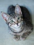 短发灰色平纹小猫的特写镜头 免版税库存照片