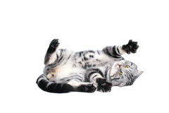 短小使用英国猫的头发 免版税库存图片