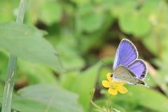 短小在一朵黄色花的被盯梢的蓝色 库存图片