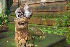 短尾猿与婴孩的猴子家庭在圣所森林里 库存图片