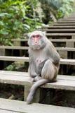 短尾猿台湾 库存照片