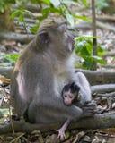 短尾猿和她的婴孩 库存图片