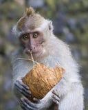 短尾猿在猴子森林里, Ubud 免版税库存图片