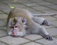 短尾猿在猴子森林里, Ubud 免版税库存照片