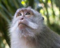 短尾猿在猴子森林里, Ubud 库存图片