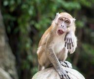 短尾猿在Gombak抹它的面孔 库存图片