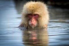 短尾猿在Onsen坐 库存照片