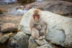 短尾猿坐岩石 库存照片