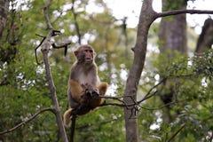 短尾猿坐树 免版税库存照片