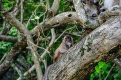 短尾猿坐美洲红树树 猕猴属fascicularis 库存图片