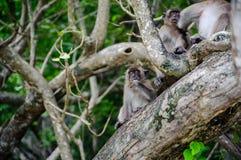 短尾猿坐美洲红树树 猕猴属fascicularis 免版税库存图片