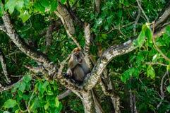 短尾猿坐美洲红树树 猕猴属fascicularis 免版税库存照片