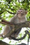 短尾猿树梢 库存照片