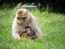 短尾猿母亲和婴儿 免版税库存图片