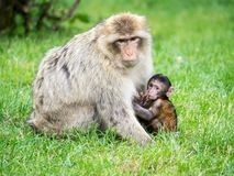 短尾猿母亲和婴儿 免版税库存照片