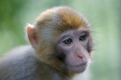 短尾猿特写镜头 免版税库存照片